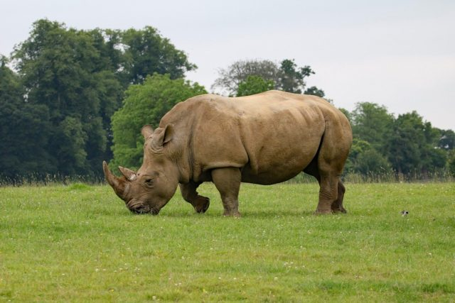 Rhinos are tough. writers must be tough too